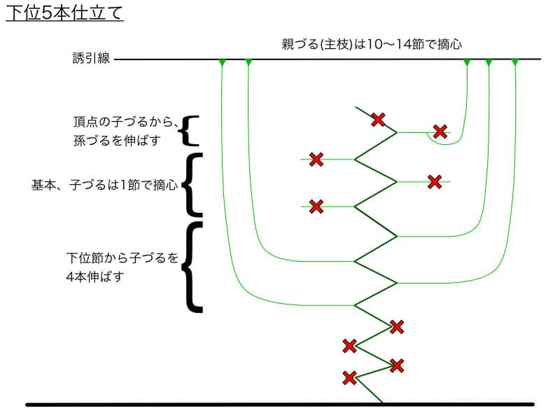 キュウリのつる下ろし栽培における下位5本仕立てのやり方の例を示した画像です。