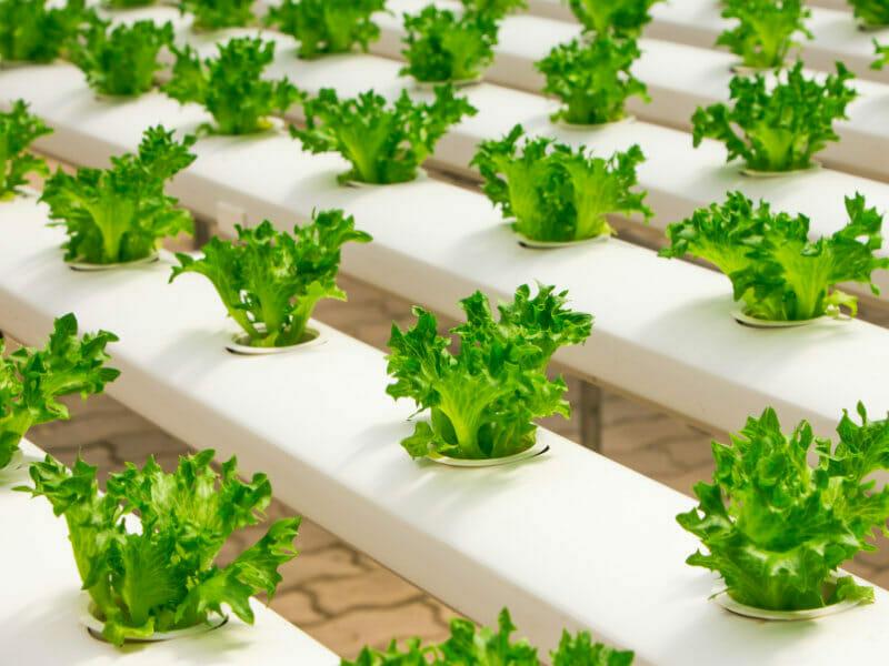 水耕栽培で育てられているレタス