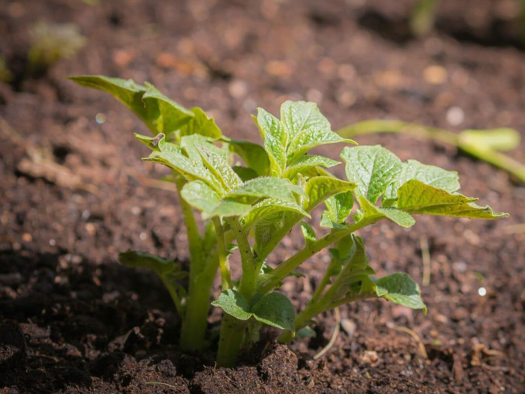 ジャガイモの初期生育の苗