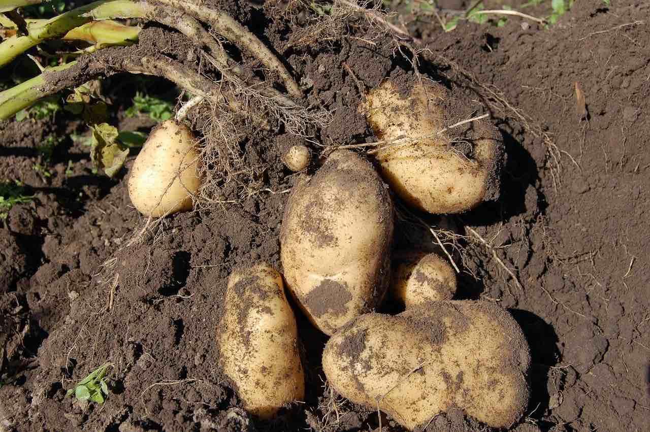 収穫されたジャガイモの様子