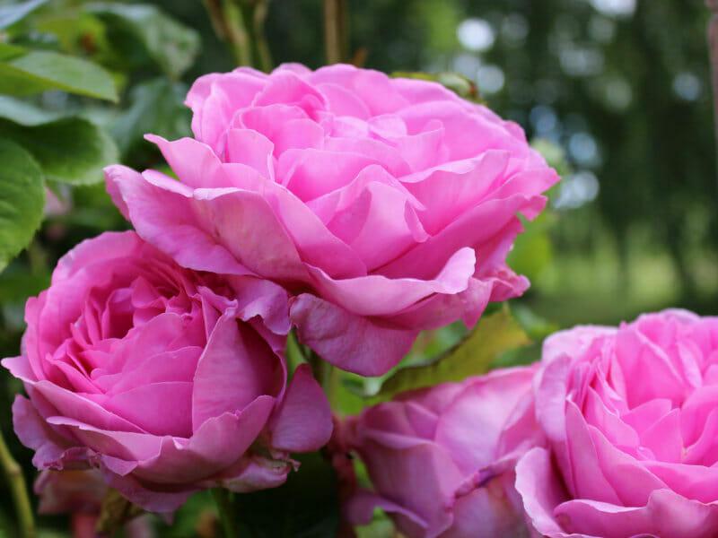バラの画像です。