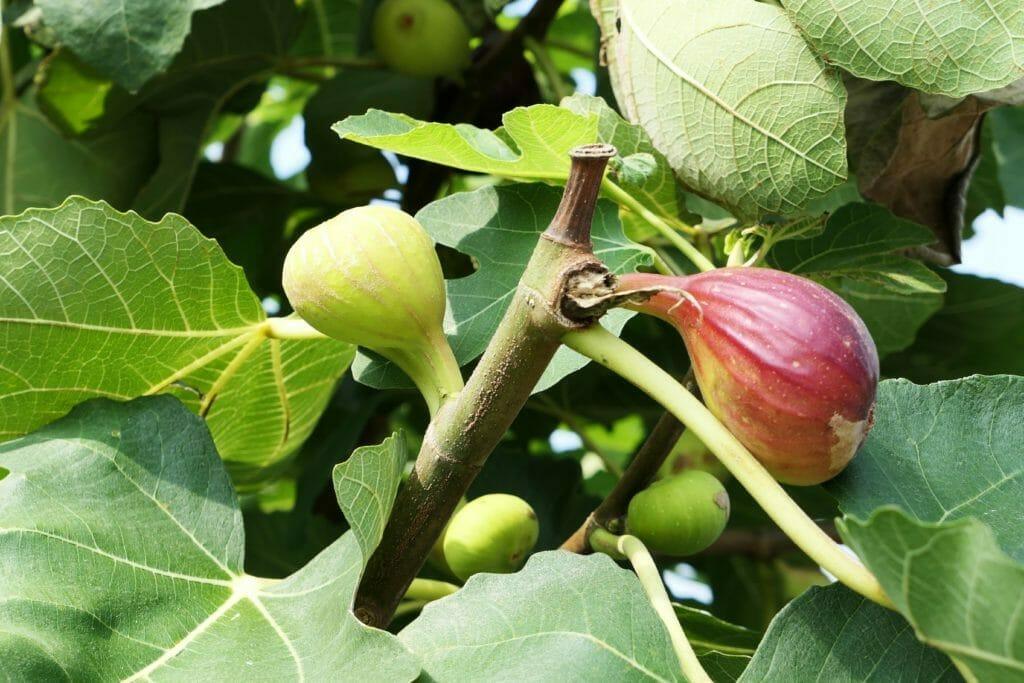 イチジクの果実