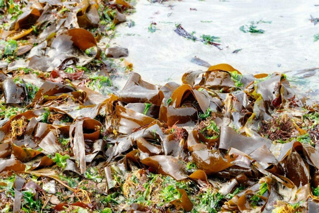 海岸に打ち寄せる海藻