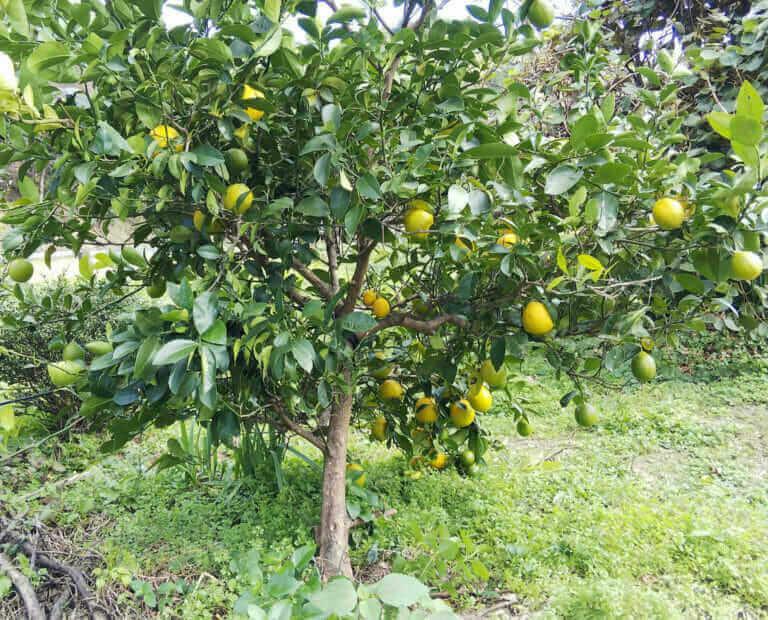 レモンの果実
