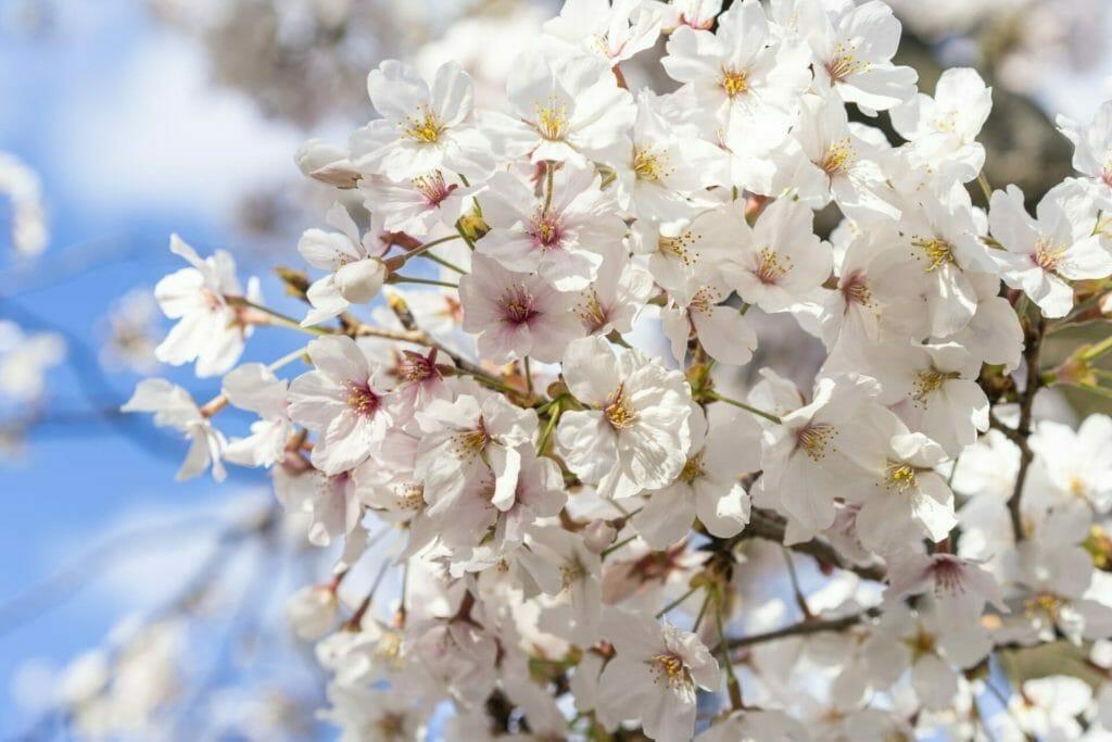 開花する桜の花