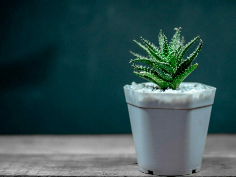 ハイドロカルチャーの鉢植え写真