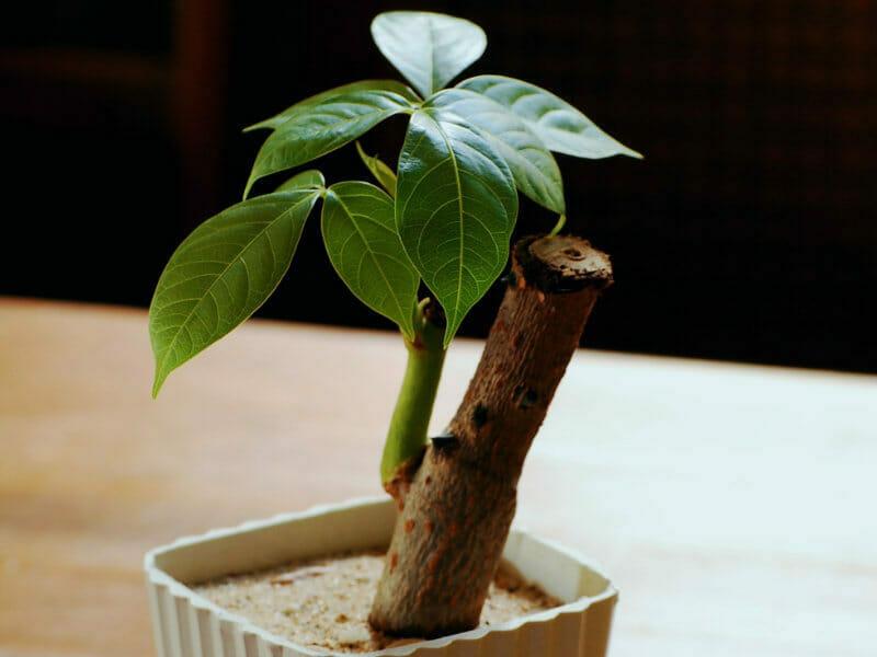 室内で栽培されているパキラ