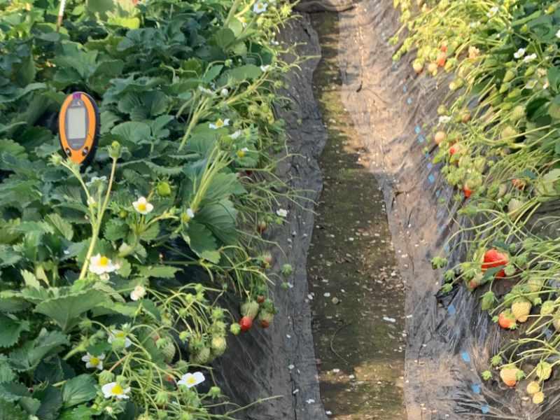 イチゴ栽培の様子です