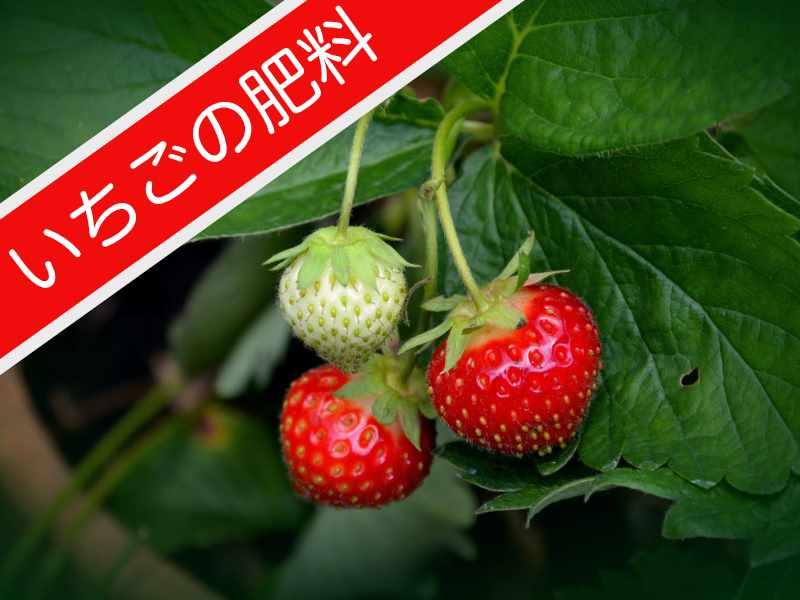イチゴ栽培の肥料を知りたい方向けのバナー
