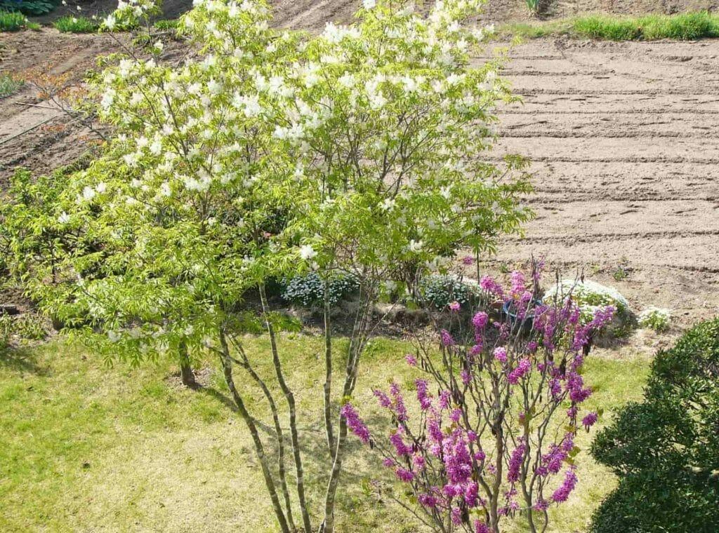 畑をバックに開花する庭木