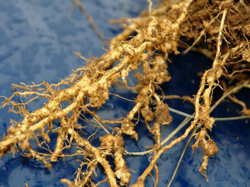 根こぶ病にやられた根の様子