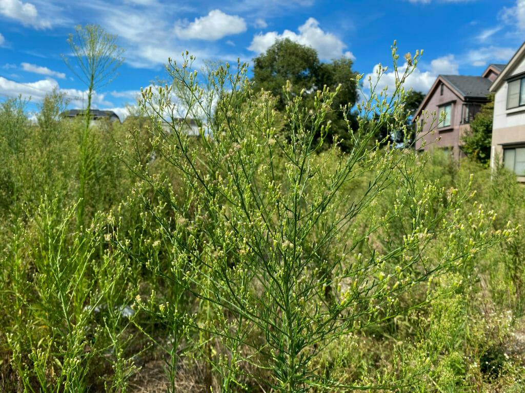 空き地に生茂るヒメムカシヨモギ
