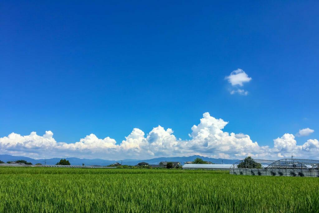夏の田んぼ(水田)の写真