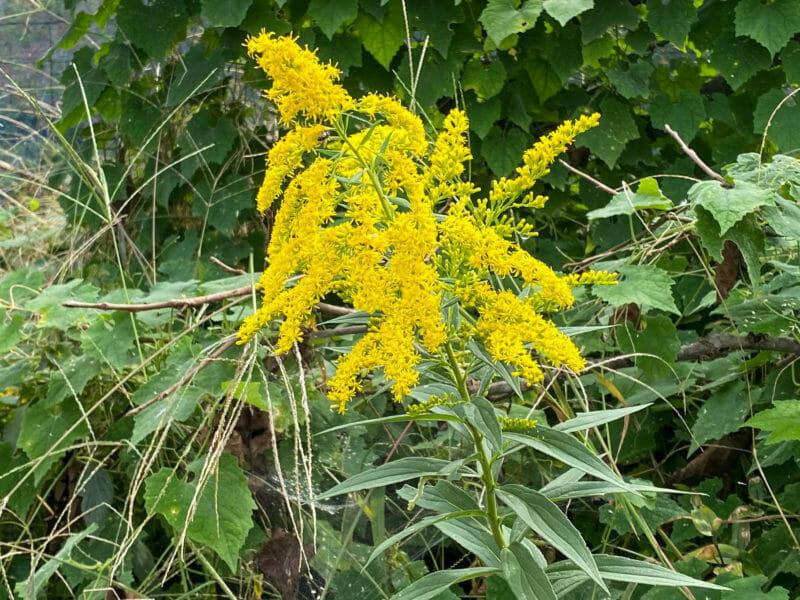 代表的な雑草、開花したセイダカアワダチソウ