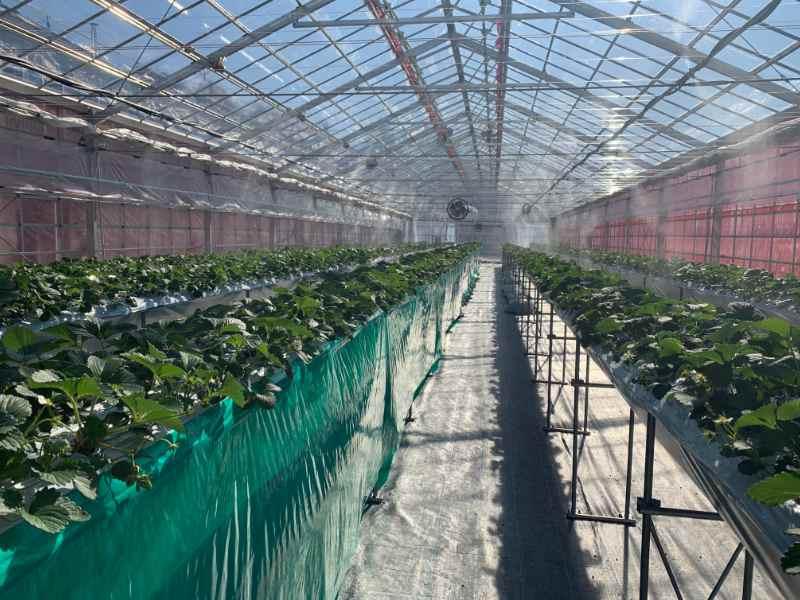 イチゴの高設栽培(施設栽培)