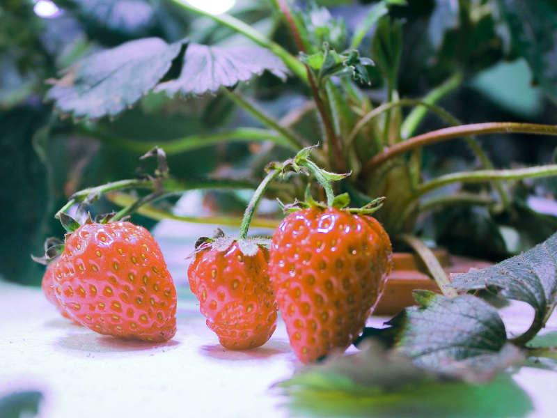 水耕栽培でイチゴが実っている様子