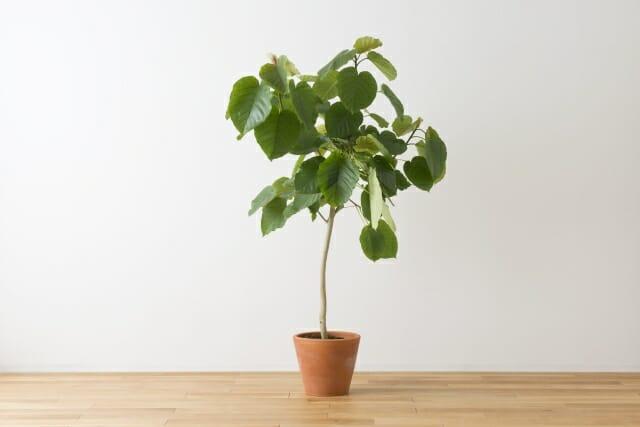 フィカス・ウンベラータの鉢植えの写真