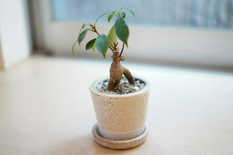 ガジュマルの鉢植えの写真