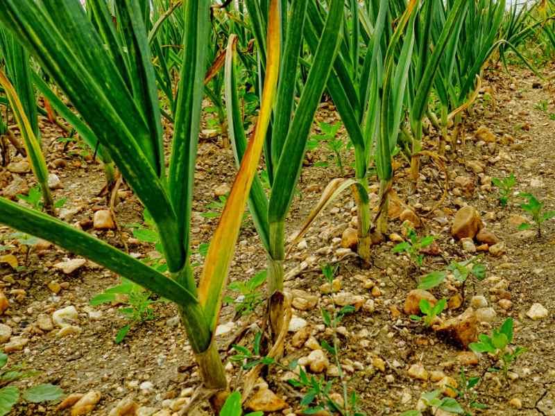露地で栽培されているニンニク