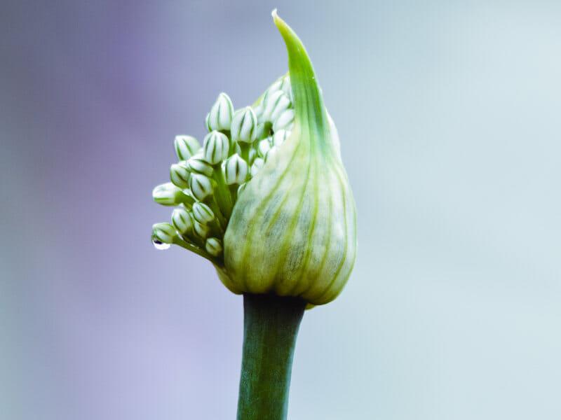 トウ立ちしたニンニクの芽