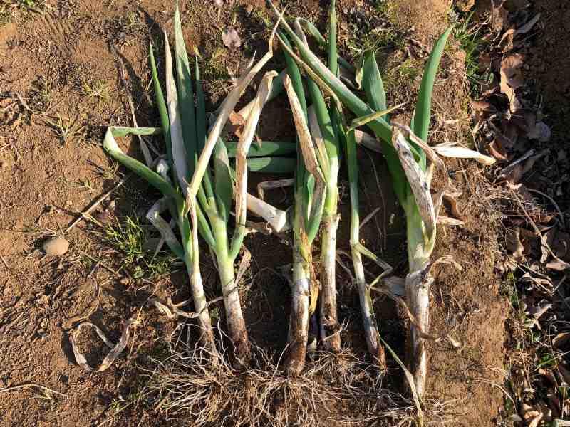 収穫直後の根深ネギ(青ネギ)