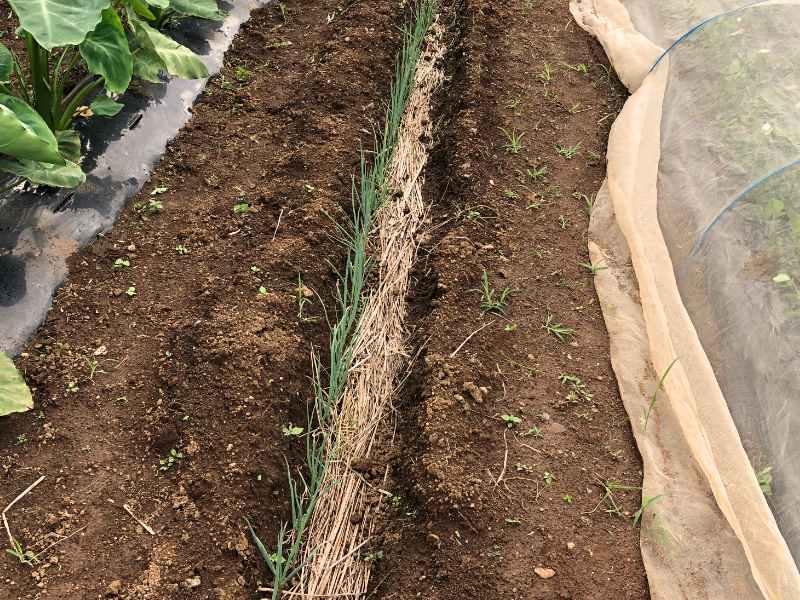 根深ネギ(青ネギ)の植え付け後の様子