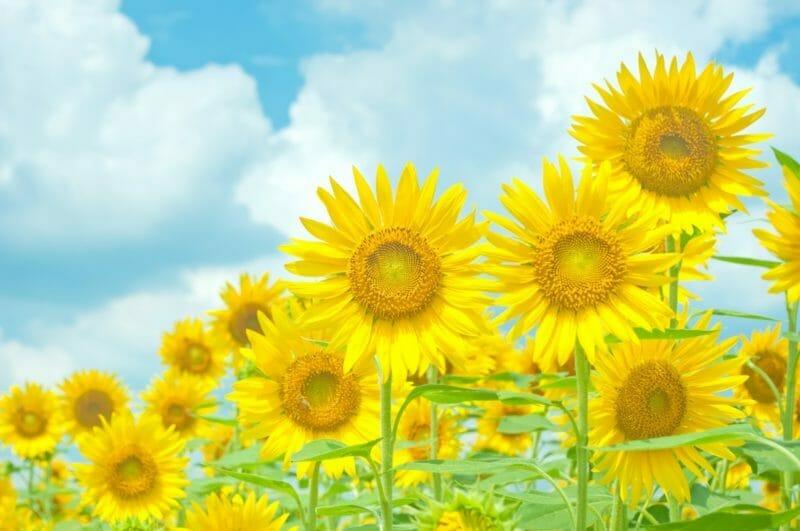 夏に咲き誇る大量のひまわり