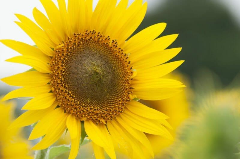 美しく咲いている大玉ひまわり