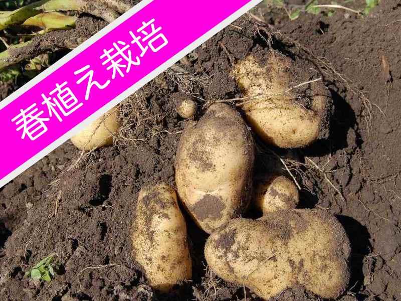ジャガイモ春植え栽培のバナー