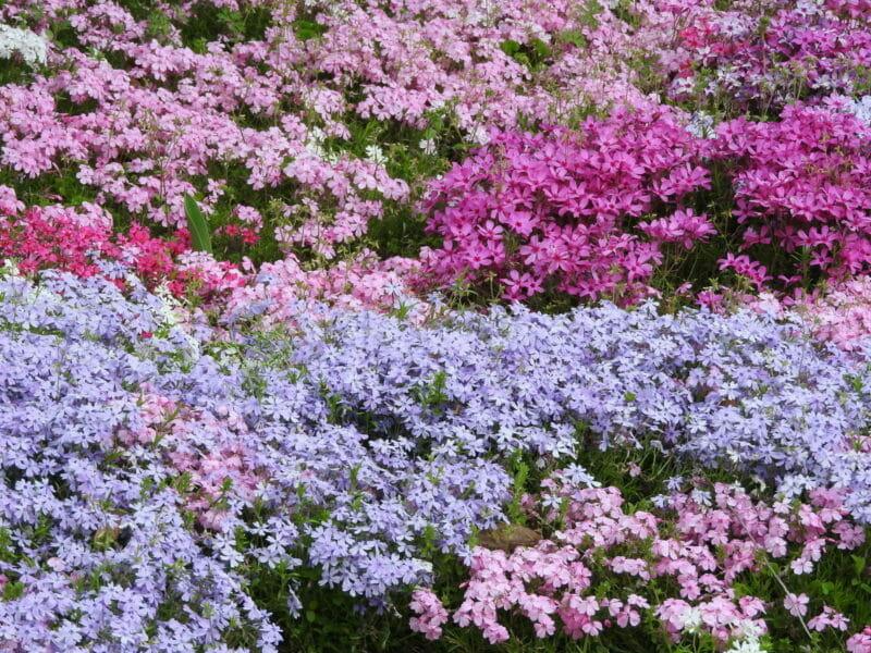 咲き誇る芝桜の写真