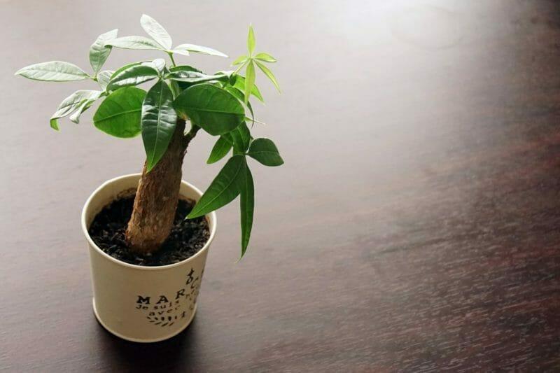 観葉植物パキラの写真