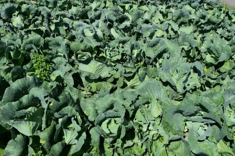 無農薬栽培のキャベツ