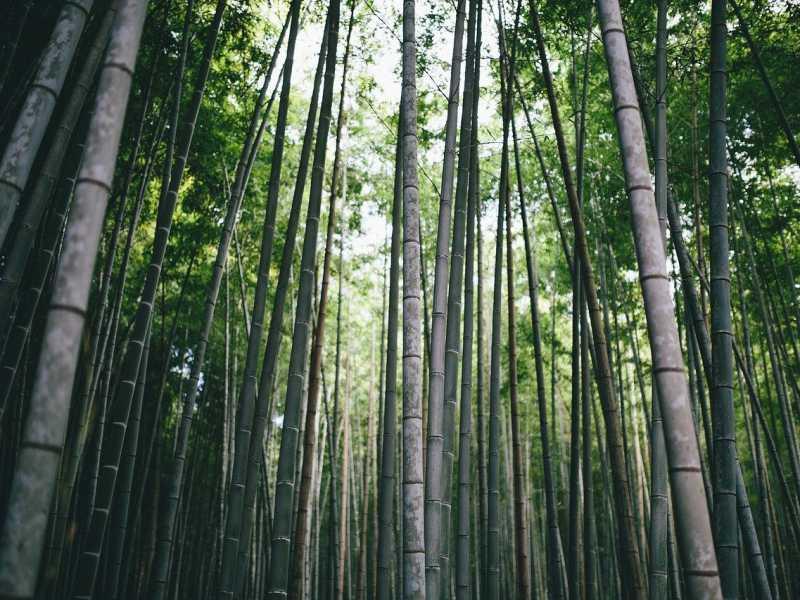 生い茂る竹の写真