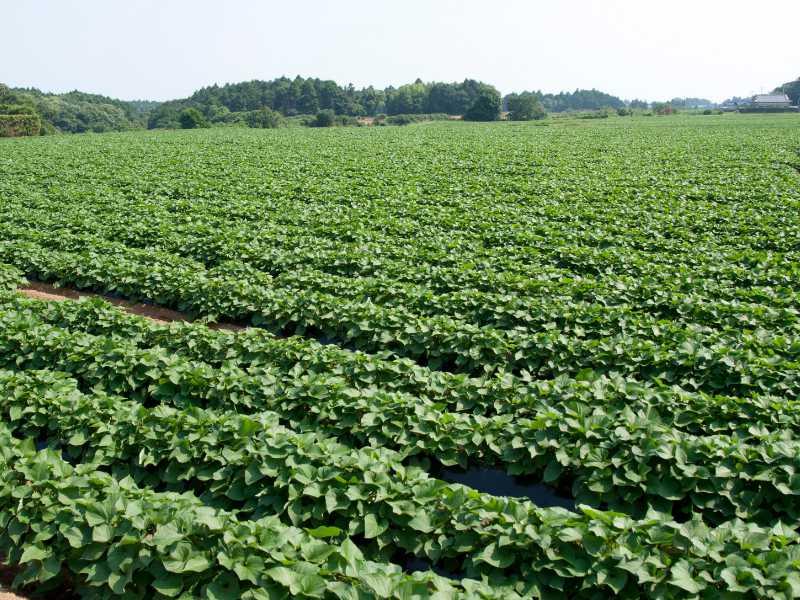サツマイモ(甘藷・かんしょ)の圃場の画像