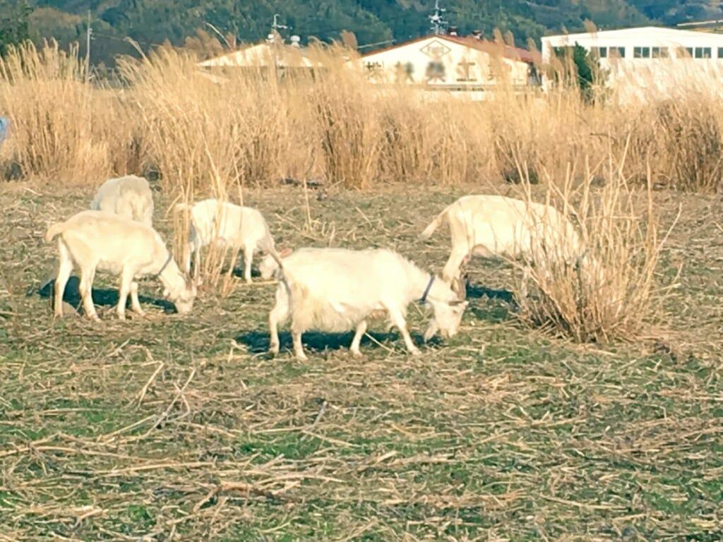 雑草を除草する山羊の集団