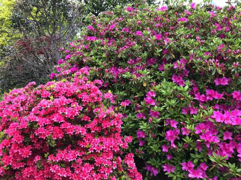 ピンクと紫の2種類のツツジが咲き誇っている画像