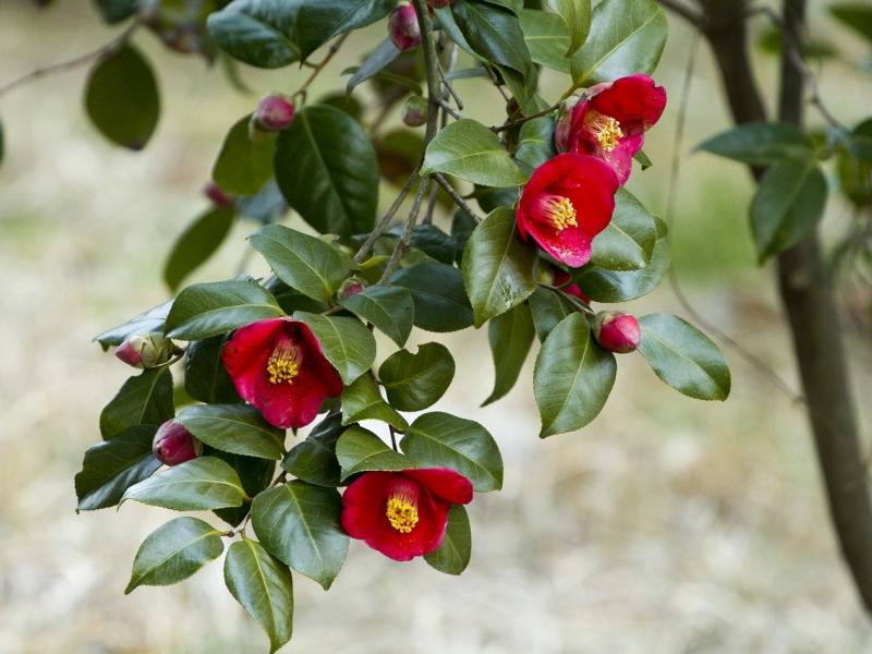 赤い花色のツバキの写真
