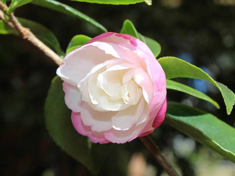 白い花色のサザンカの写真