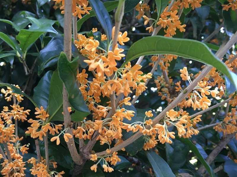 常緑の緑とオレンジの花が美しい金木犀の画像