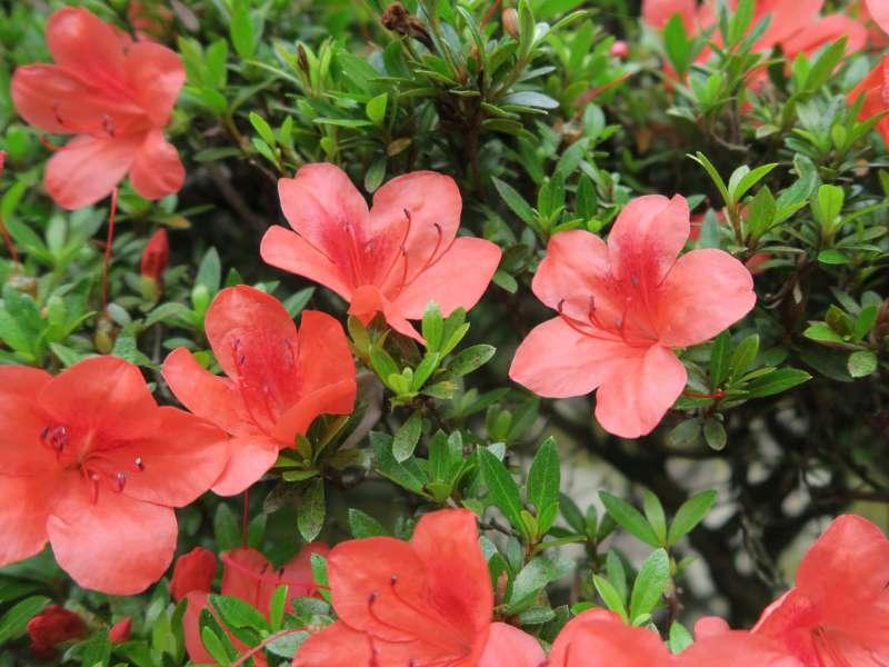 赤色の花を咲かせているサツキの画像