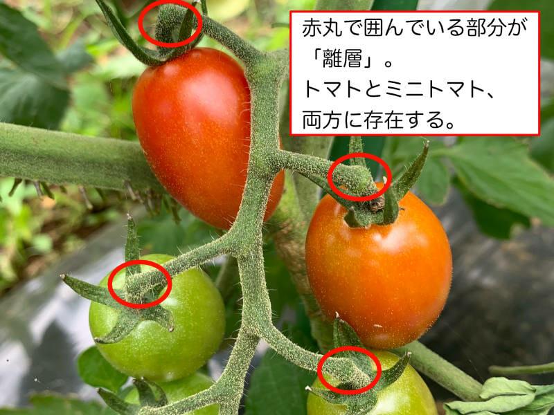 トマトとミニトマトの離層について解説している画像です。
