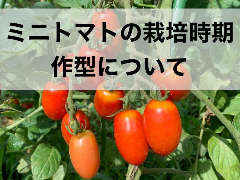 ミニトマトの栽培時期、作型に関する記事のバナーです。