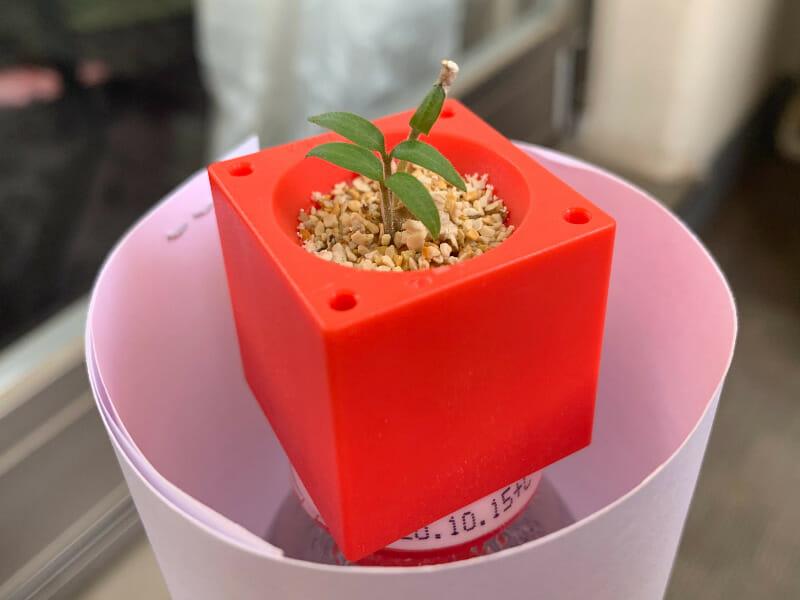 ミニトマトのプラスチック栽培の発芽の様子です。