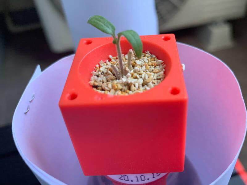 ミニトマトのプラスチック栽培で子葉が展開してきた様子です。