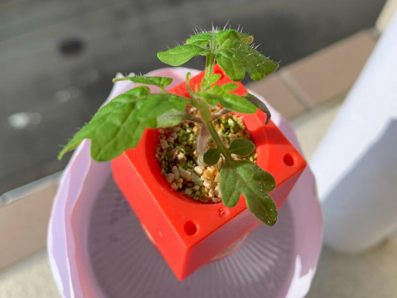 ミニトマトのプラスチック栽培で本葉が展開してきた様子です。