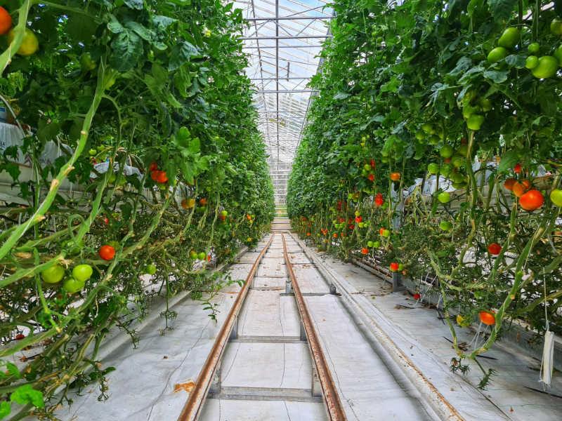 トマトのロックウール耕(ロックウール栽培)の様子です