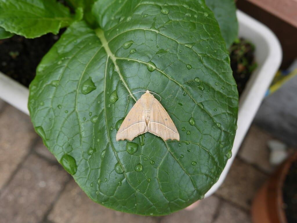 葉っぱにいる、アワノメイガの成虫