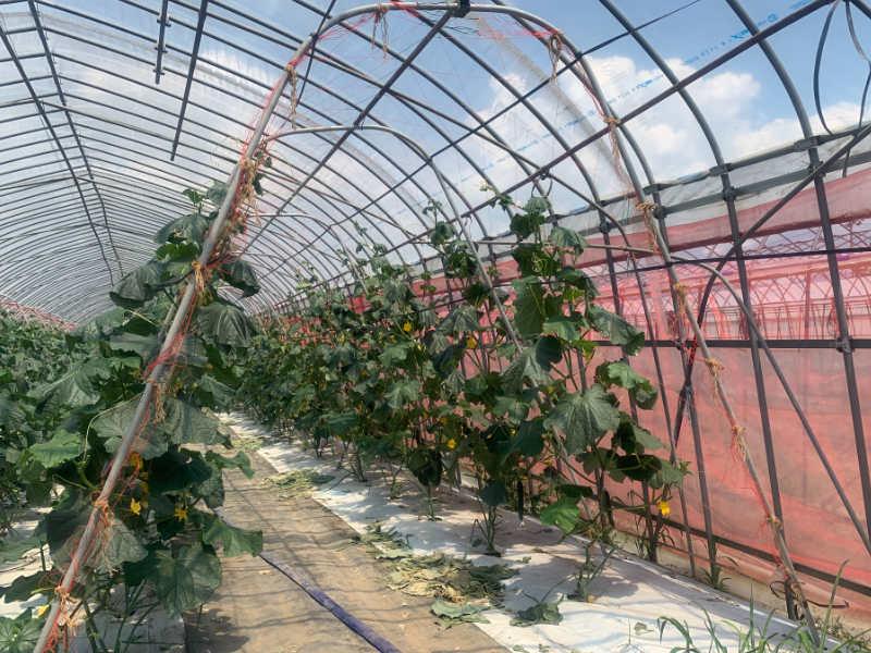 キュウリ栽培におけるアーチ支柱を使用した誘引の例です。アーチ支柱にネットを張って誘引しています。
