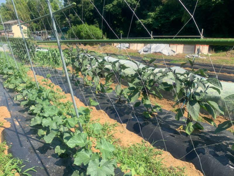 キュウリの露地栽培の様子です。直立式に園芸支柱を立ててネットを張り、誘引していきます。