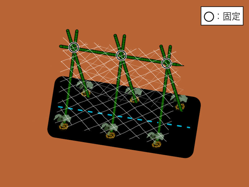 園芸支柱を合掌式に組み、ネットを張った様子を示したイラストです。キュウリの誘引がしやすくなります。